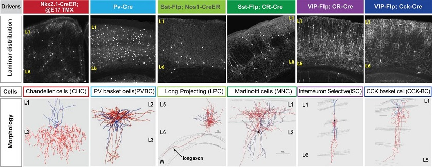 CAPTION Patterns of cell-to-cell communication are the core feature that makes possible rigorous distinctions among neuron types across the mouse brain. This discovery by CSHL researchers was made through analysis of the gene activity profiles of these 6 known inhibitory cell types. CREDIT Huang Lab, CSHL