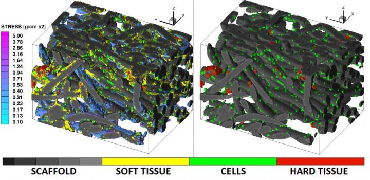 "CAPTION LEFT: Calculated shear stress (SS). RIGHT: Soft tis-sue is subtracted using image processing. Images represent a 0.62 mm x 0.91 mm x 0.62 mm volume. In these images gray scale represents the poly-L-lactic acid fiber-mesh scaffold of 30 micrometre diameter, green color marks individual cells, yellow is soft tissue and red is calcification. The ""cool"" color map represents the fluid-induced surface SS for physiologically-relevant stress levels of > 0.1 g/cm s^2."