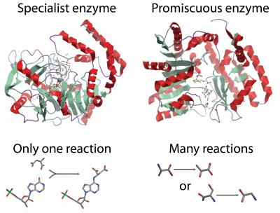 Enzymes are often thought to be specific, catalyzing only one reaction in a cell (left). However, some more promiscuous enzymes have many functions and catalyze many reactions in a cell. This study shows that promiscuous enzymes play a larger part in cell growth than previously thought.  Credit: Courtesy of Systems Biology Research Group, UC San Diego, Jacobs School of Engineering