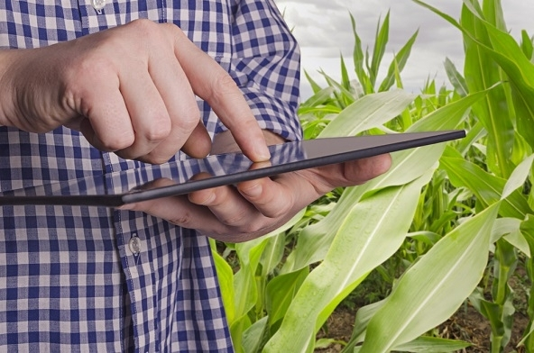640163346 - Agronomist holds tablet touch pad computer in the corn field and examining crops before harvesting. Agribusiness concept.
